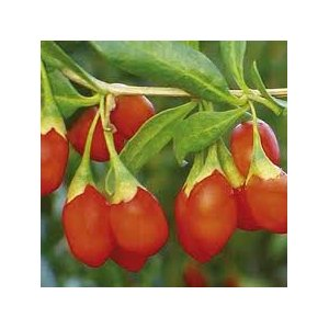 goji berry plants